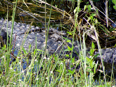 Gator w/hatchlings, Shark Valley - Everglades National Park