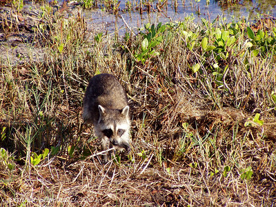 Raccoon, J.N. Ding Darling NWR