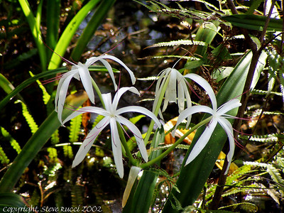Swamp Lily, Corkscrew Swamp Sanctuary