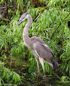 Great Blue Heron - Shark Valley, Everglades National Park