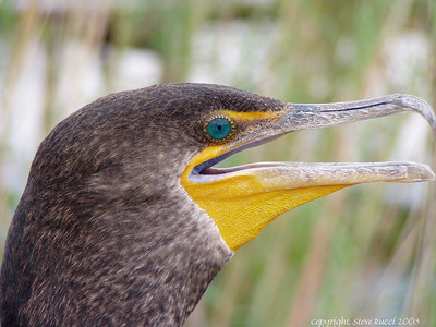 Cormorant - Everglades National Park