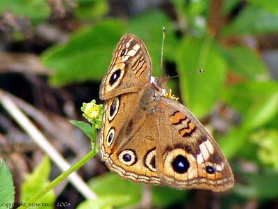 Buckeye Butterfly - J.N. Ding Darling NWR