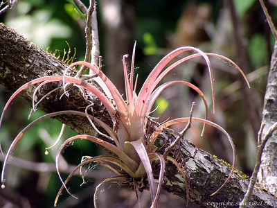 Bromeliad - Corkscrew Swamp Sanctuary