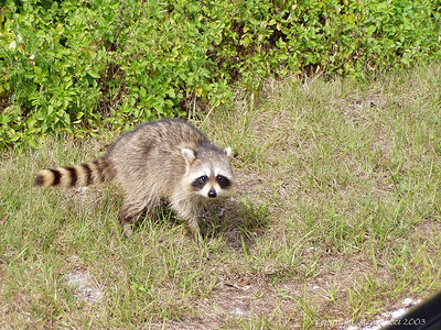 Raccoon - J.N. Ding Darling NWR