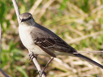 Mockingbird - Flamingo, Everglades National Park
