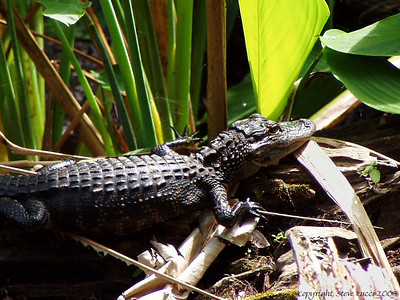 Alligator - Fakahatchee Strand State Preserve