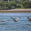 3 Pelicans in flight