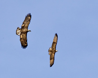 Bald eagle chases osprey, top view