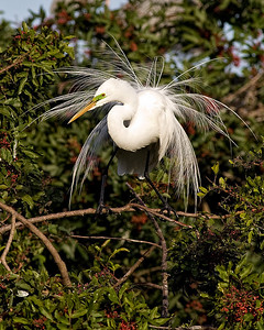 Great egret displaying reason they almost went extinct by plume hunter