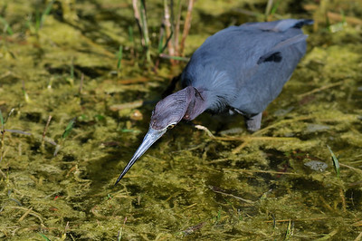 little_blue_heron02