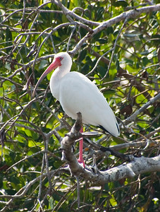 White Ibis, Ding Darling NWR