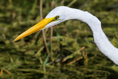 everglades_greategret01