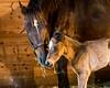 Newborn foal in the barn