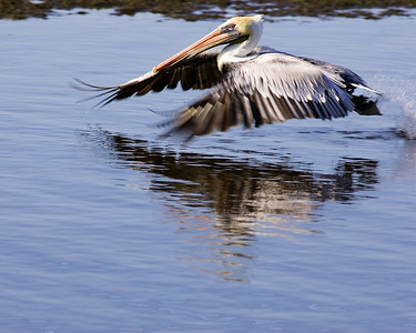 Brown pelican takes off from Ding Darling pond