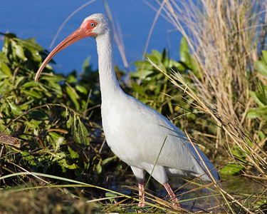 White ibis looking me over