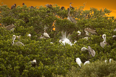 Rookery at sunset, Tarpon Bay.  Egrets, herons, pelicans and cormorants.