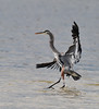 Great Blue Heron, J.N. Ding Darling Wildlife Preserve, Sanibel, FL