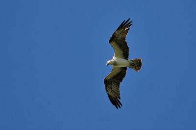 soaring_osprey01
