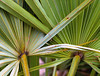 Two palm fronds, Palm Beach
