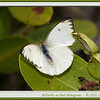 Butterfly on Red Mangrove.  Black Point Wildlife Drive