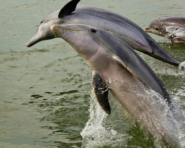 Playful Bottlenose Dolphin trio