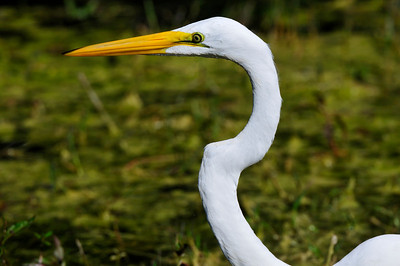 everglades_greategret02
