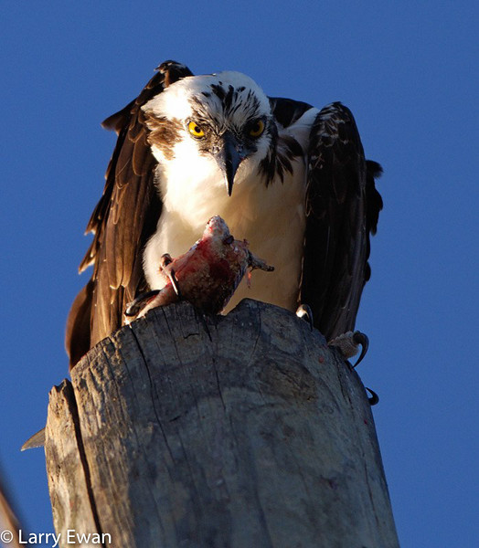 Osprey eating the morning meal on top of a power pole near Cape Canaveral National Seashore.