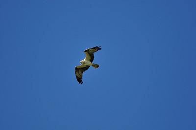 soaring_osprey02