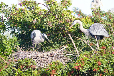 Great blue heron places stick just right on nest