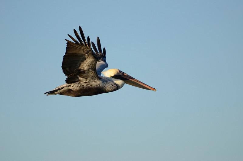 Brown Pelican, Indian Shores, FL