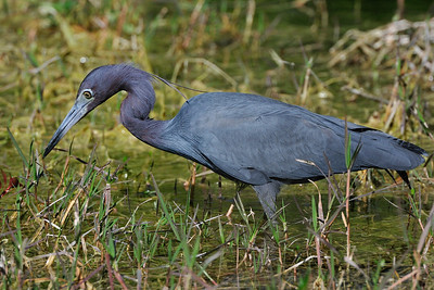 little_blue_heron01