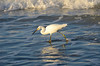 Snowy Egret, Indian Shores, FL