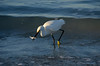 Snowy Egret with fish, Indian Shores, FL