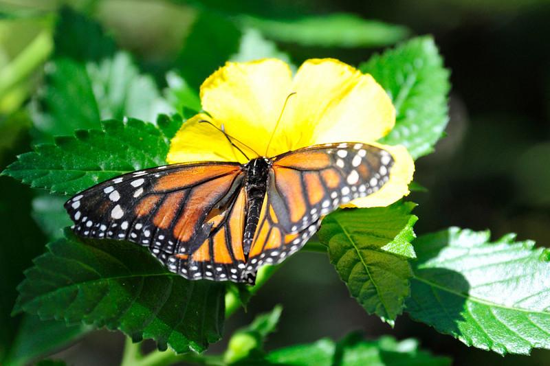 Ft Meyers Butterfly House, Ft Meyers, FL