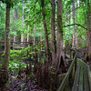 Highlands Hammocks State Park Florida boardwalk and cypress knees