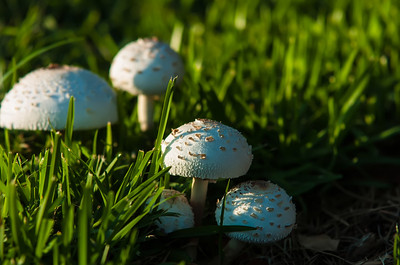 Photo of Poisonous mushrooms in the garden.