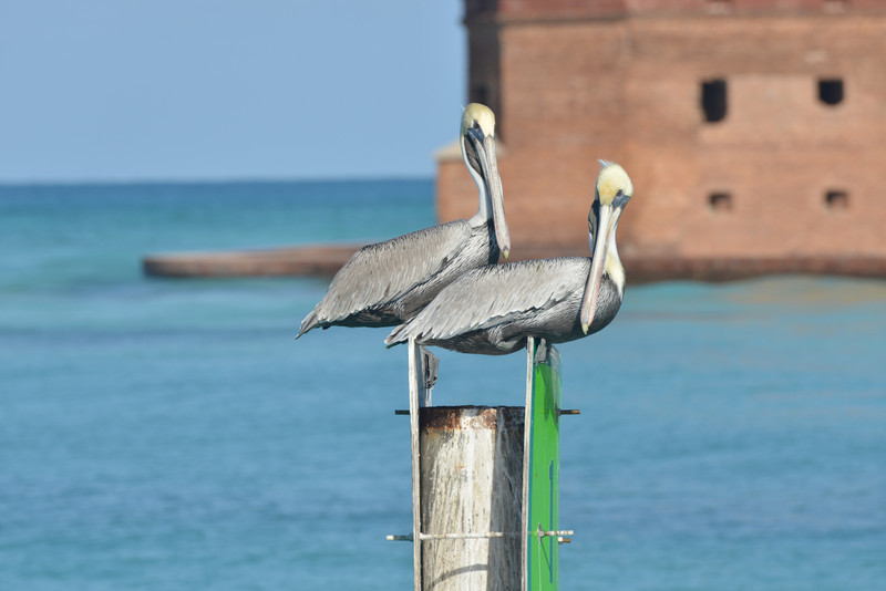 Storks off of Fort Jefferson