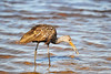 Limpkin with clam, Myakka River State Park, FL