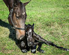 Mom nuzzles newborn foal.