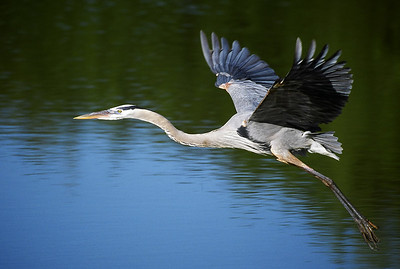 Great blue heron flying to nest at Venice rookery in Florida