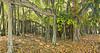 Banyan trees at Edison & Ford Estates