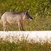 Lunch.  Wild Boar roaming Black Point Wildlife Refuge