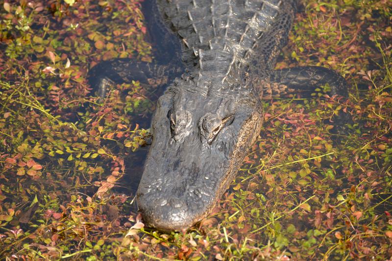 American Crocodile in the Everglades