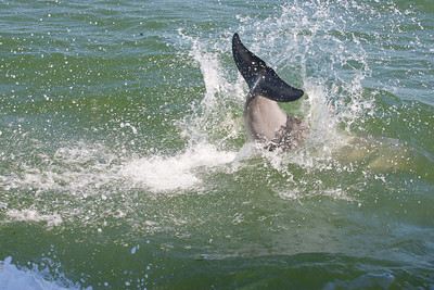 Bottlenose dolphin goes under