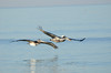 Brown pelicans, Indian Shores, FL