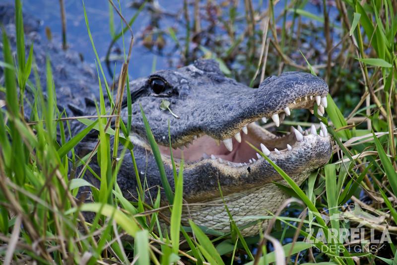 """Alligator"" (Everglades National Park, Florida)"