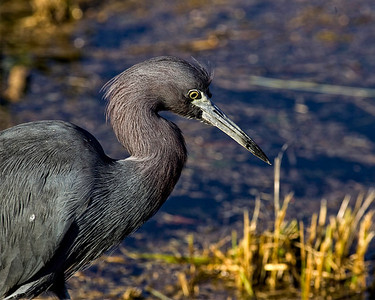 Little blue heron catching lizard