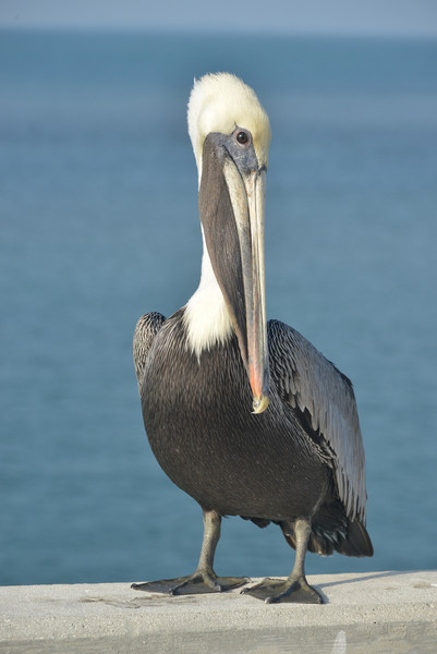 Brown Pelican in the Florida Keys
