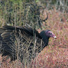 Turkey Vulture.  Black Point NWR.