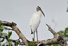 Wood Stork, J.N. Ding Darling Wildlife Preserve, Sanibel, FL